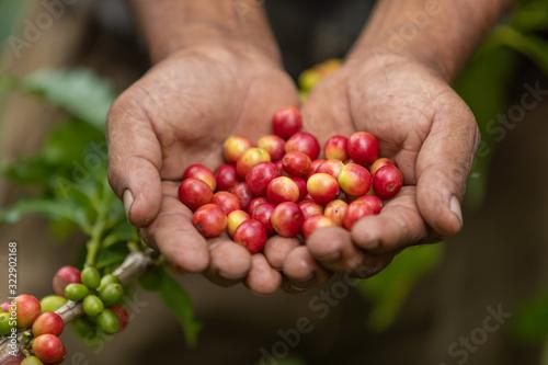 Fototapeta coffee plantation