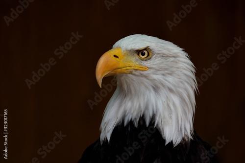 Stampa su Tela portrait of the bald eagle (Haliaeetus leucocephalus) on the dark background