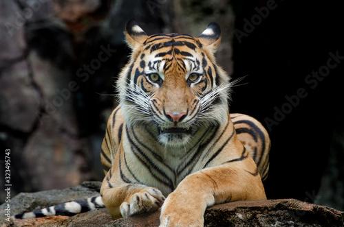 Obraz na plátne Sumatran tiger in various pose