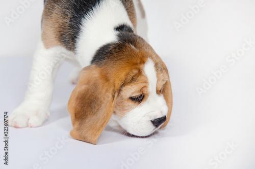 Fotografie, Obraz Puppy beagle on a white background.