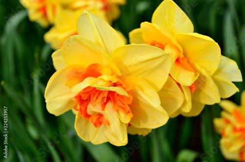 Stampa su Tela Yellow narcissus closeup in Keukenhof garden