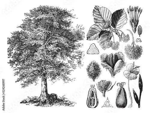 Common beech (Fagus sylvatica) / vintage illustration from Brockhaus Konversatio Fototapet