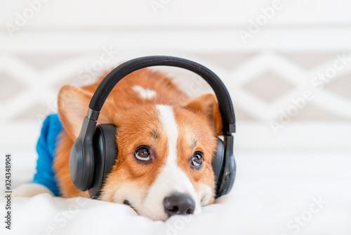 Canvas Print Cute corgi dog in stylish blue bomber jacket sitting and wireless headphones