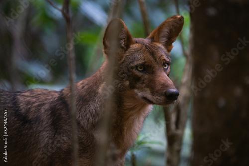 Closeup portrait of a coyote with an eye injury Tapéta, Fotótapéta
