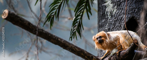 Canvas Print Monkey Laying on a Branch