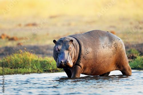 Carta da parati Hippo in the water in Africa