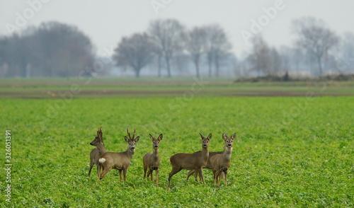 Canvas Print Reh,Rehwild,Rudel,Deer,Roe deer,Herd