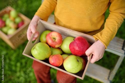 Fototapeta Little boy picking apples in orchard