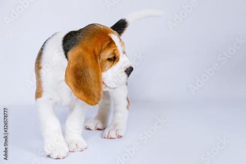 Fototapeta Puppy beagle on a white background.