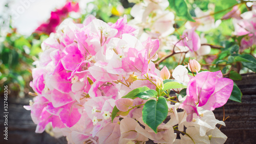 Photo pink and white flowers Bougainvillaea in the garden