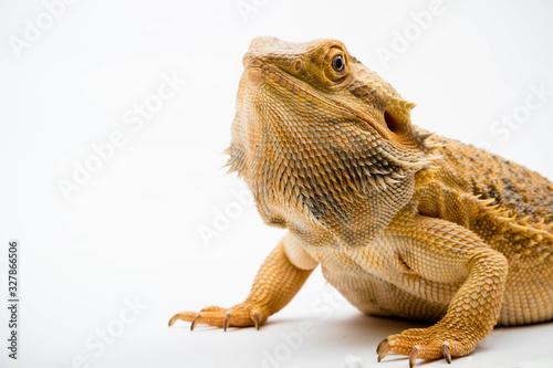 Fotografija A Bearded Dragon reptile