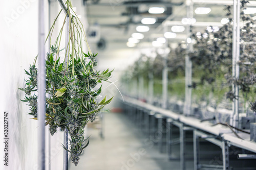 Photo Marijuana Plant Branches with Buds Hanging for Harvest