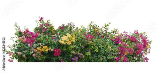 Fotografija Flower vine bush tree isolated t on white background.