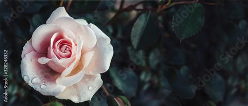 Fotografia Fine art image of beautiful pastel roses in dark garden