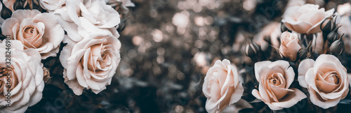 Fine art image of beautiful pastel roses in garden.