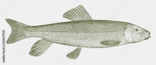 Fotografia White sucker, catostomus commersonii, a freshwater fish from eastern North Ameri