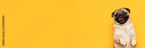 Photo Banner adorable dog pug breed making angry face and serious face on yellow backg