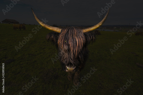 Fotografia Scottish Highlander