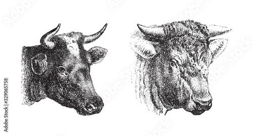 Cow and bull portrait / vintage illustration from Brockhaus Konversations-Lexikon 1908