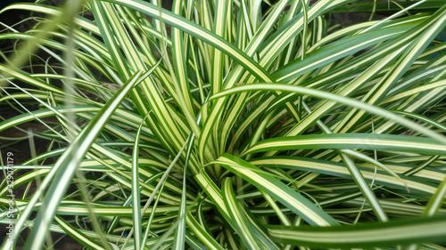 Fotografia Carex oshimensis 'Evergold'