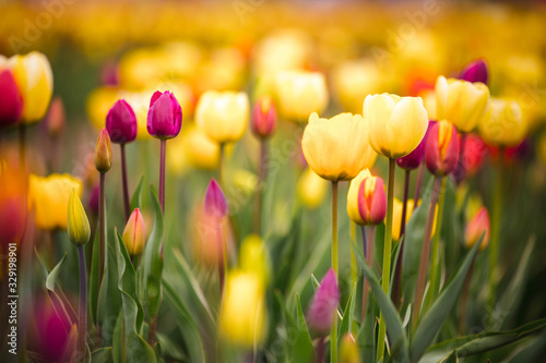 Canvas Print tulip field