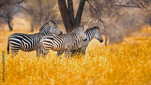 Fotografie, Obraz The plains zebra (Equus quagga, formerly Equus burchellii), also known as the common zebra, is the most common and geographically widespread species of zebra
