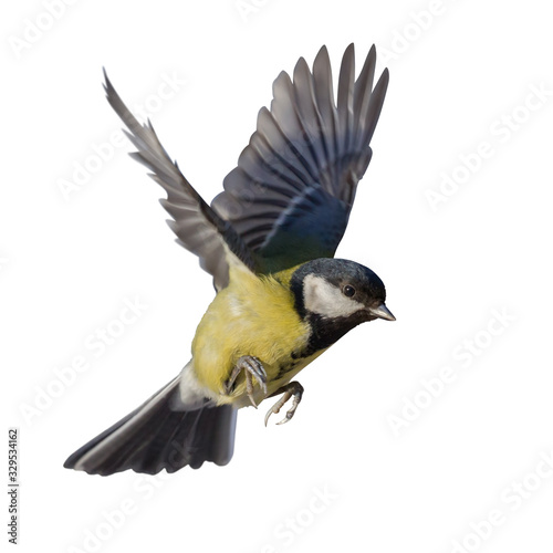 photo of fast flying isolated great tit