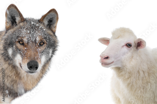Photo wolf and sheep portrait isolated on a white background.
