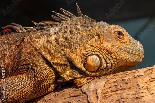 Obraz na plátně Close up portrait of an iguana in captivity
