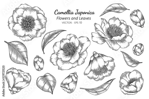 Fotomural Camellia Japonica flower and leaf drawing illustration with line art on white backgrounds