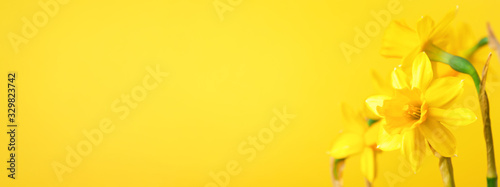 Tablou Canvas Yellow daffodil on yellow background