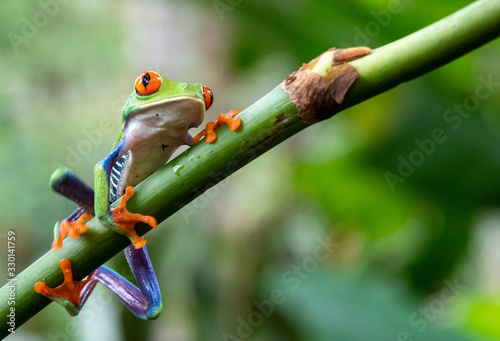 Tablou Canvas green tree frog