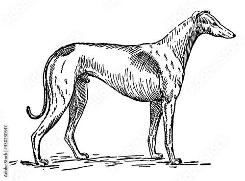 Fotografiet Greyhound, vintage illustration