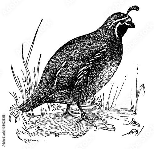 Fototapeta Quail, vintage illustration