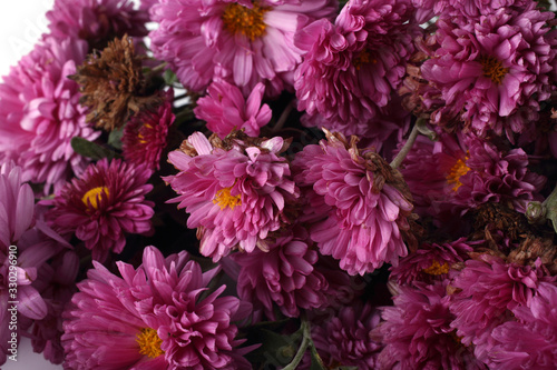 Fotografia Pink chrysanthemums background
