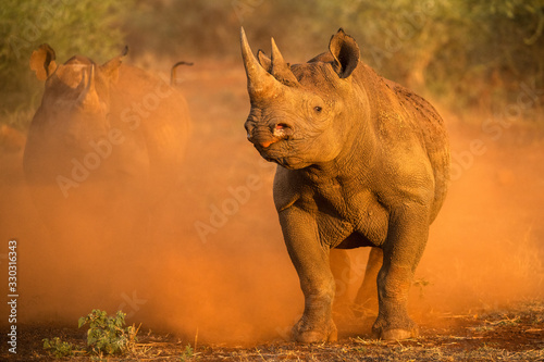Photo An action photograph of two female black rhinos charging at the game vehicle, kicking up red dust at sunrise, taken in the Madikwe game Reserve, South Africa