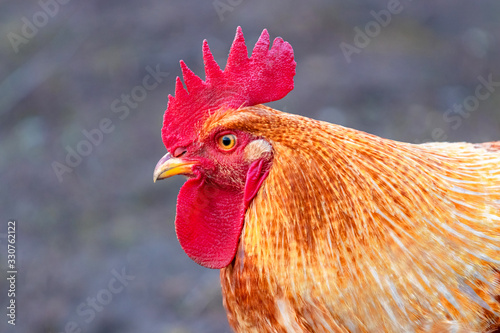 Canvas Print Orange cock in profile, portrait of a rooster_