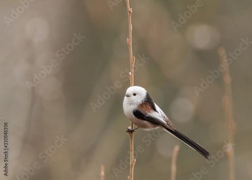 Fotografie, Obraz Long-tailed tit (Aegithalos caudatus)