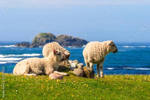 Obraz na plátne Sheep on a meadow by the sea