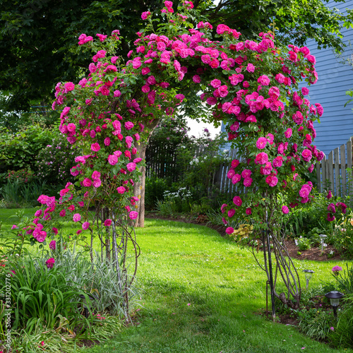 Fototapeta A beautiful rose arbour as an entrance to a backyard garden.