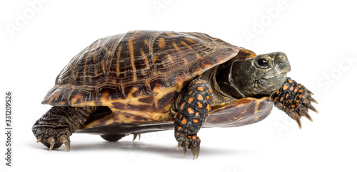 Fototapeta common box turtle, isolated on white