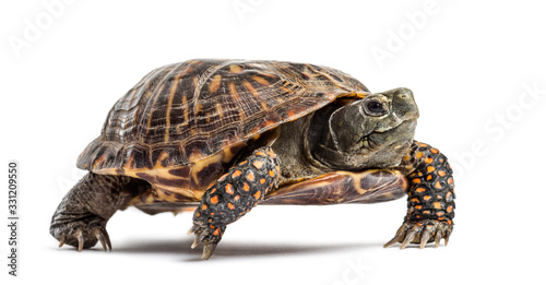 Canvas Print common box turtle, isolated on white