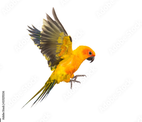Photo sun parakeet, bird, Aratinga solstitialis, flying, isolated