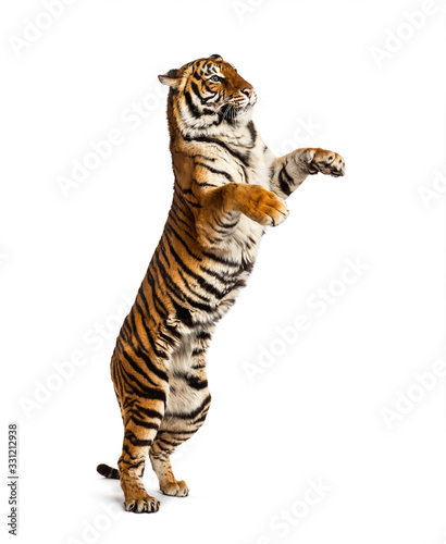 Canvastavla Male tiger on hind legs, big cat, isolated on white
