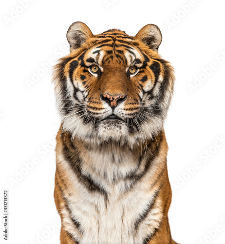 Photo Close-up on a male tiger facing at the camera, big cat, isolated on white