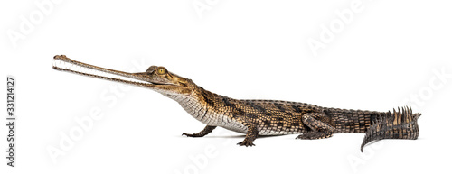 Canvas Print Young Fish-eating crocodile, Gavial, Gavialis gangeticus