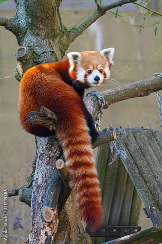 Obraz na płótnie View of a red panda (ailurus fulgens)