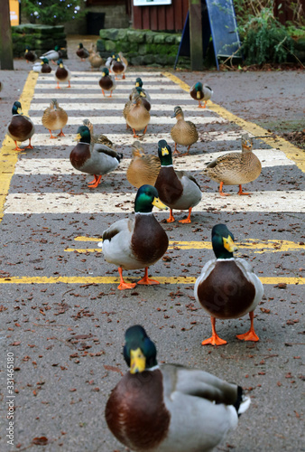 Fotografie, Tablou Mallard ducks crossing the road near Derwent Dam Derbyshire