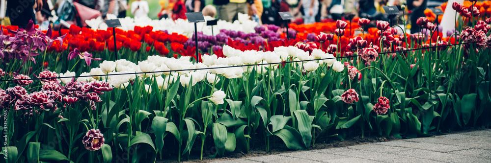 Close up of blooming flowerbeds of blossoming tulips during spring. Public flower garden, Netherlands. <span>plik: #331521515 | autor: manuta</span>