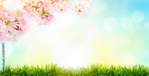 Pink cherry tree blossom flowers blooming in a green grass meadow on a spring Easter sunrise background Fototapeta